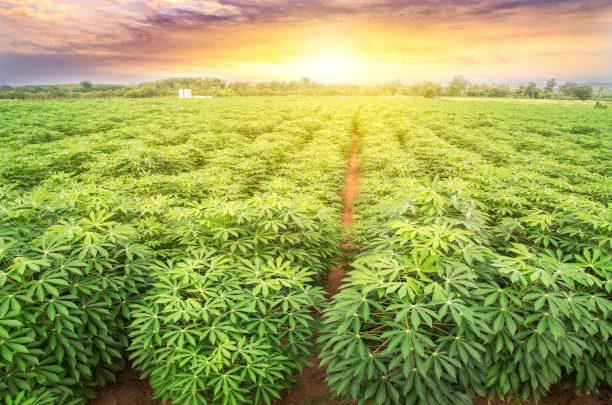 Le manioc: production et avantages